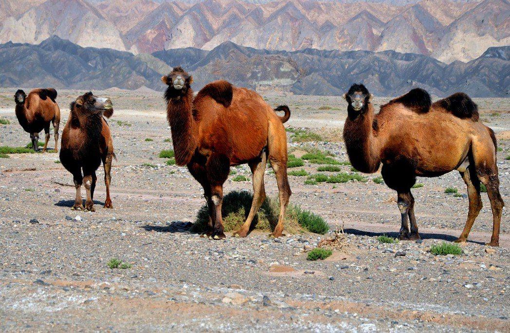 依「藏水北調」構想,20萬平方公里荒漠將變綠洲。圖為新疆塔克拉瑪干大沙漠北緣的野...