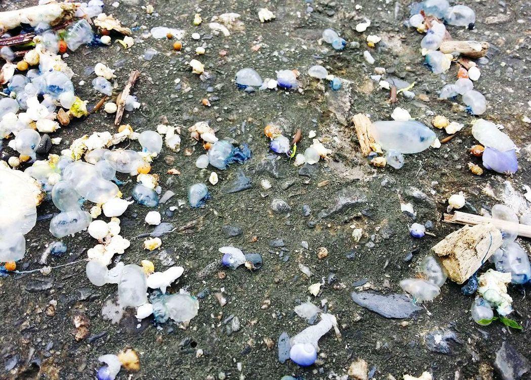 台東烏石鼻漁港礁石及杉原灣的沙灘上,發現綿延近百公尺大量被大浪沖上岸的「僧帽水母...