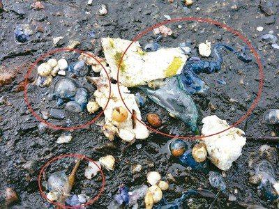 台東東海岸沙灘大量出現世界第3劇毒的僧帽水母遺骸,醫師提醒千萬勿觸碰。圖/衛福部...