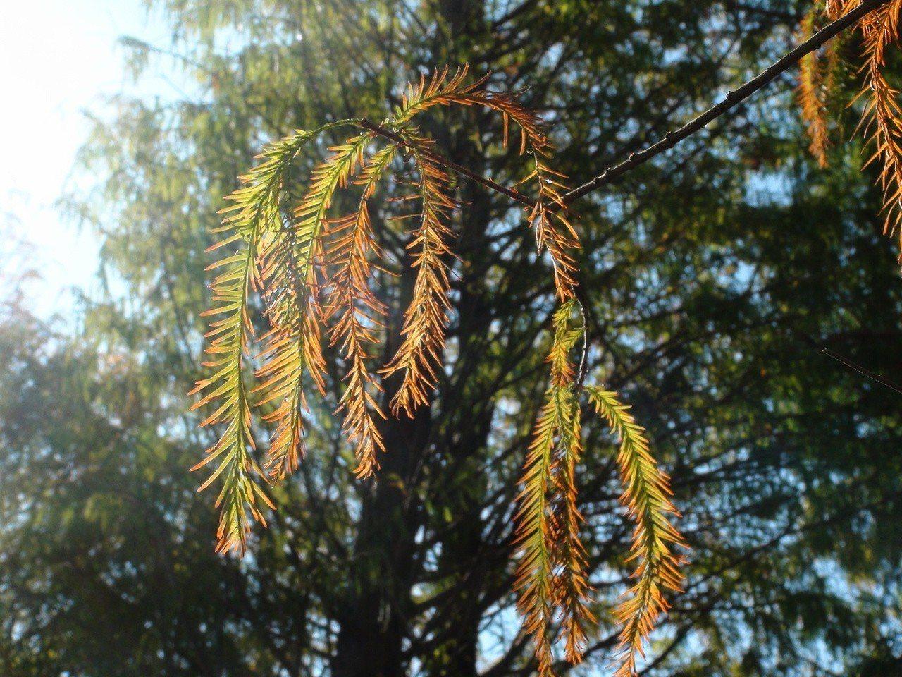 暖陽灑在樹梢上,更添詩意。記者余采瀅/攝影