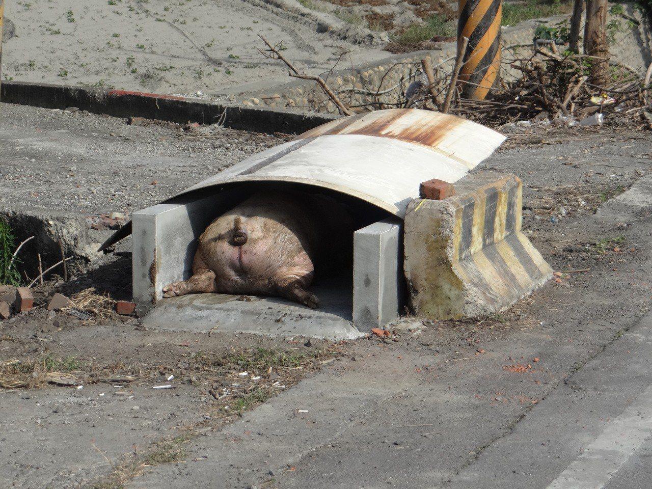 雲林養豬業者防疫很用心,在場外搭設簡易的死豬「停屍間」,可是有的過於簡易,豬屁股...
