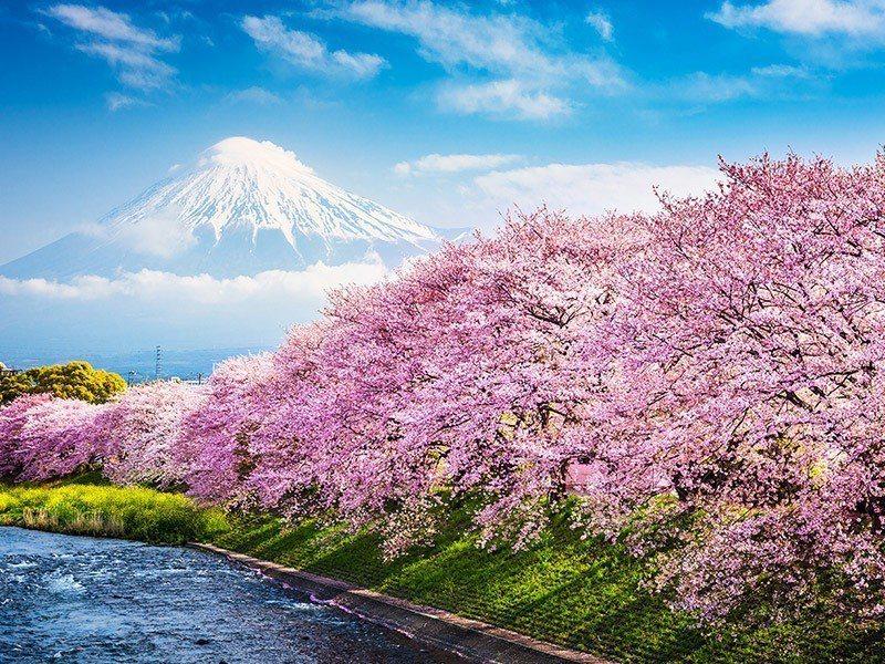 日本賞櫻季節是春季赴日旅行的大重點。易遊網/提供
