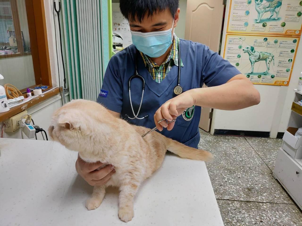 楊姓女子棄養才認養一年多的英國短毛貓,竟用郵寄到動物之家。圖/新北動保處提供