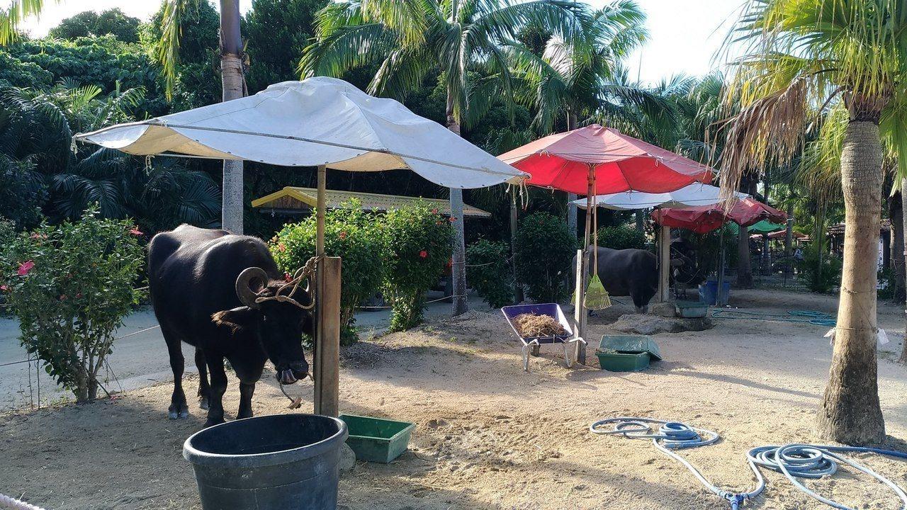 輪值出勤的水牛有專屬的牛棚可以休息。記者楊德宜/攝影