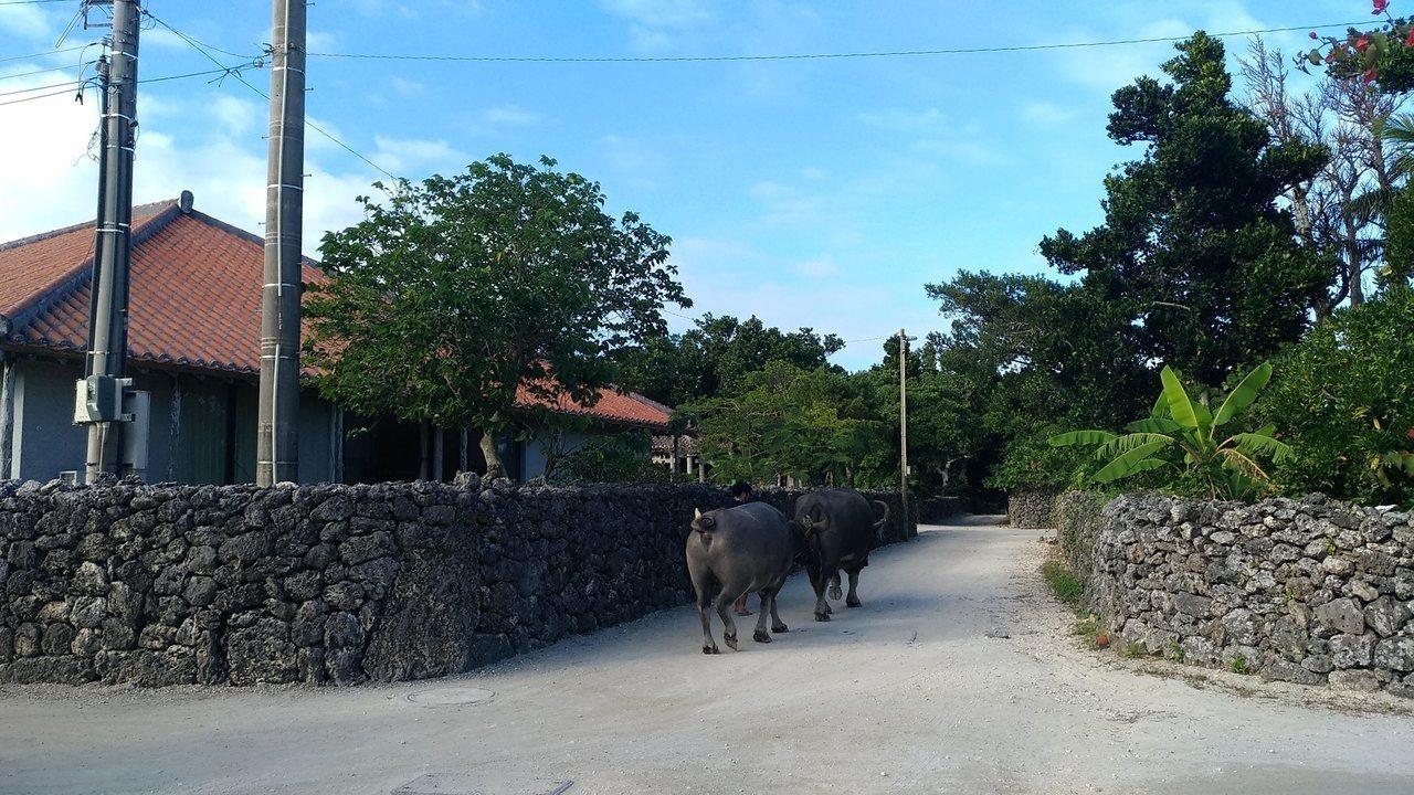 上下班時間規律,水牛下班了。記者楊德宜/攝影