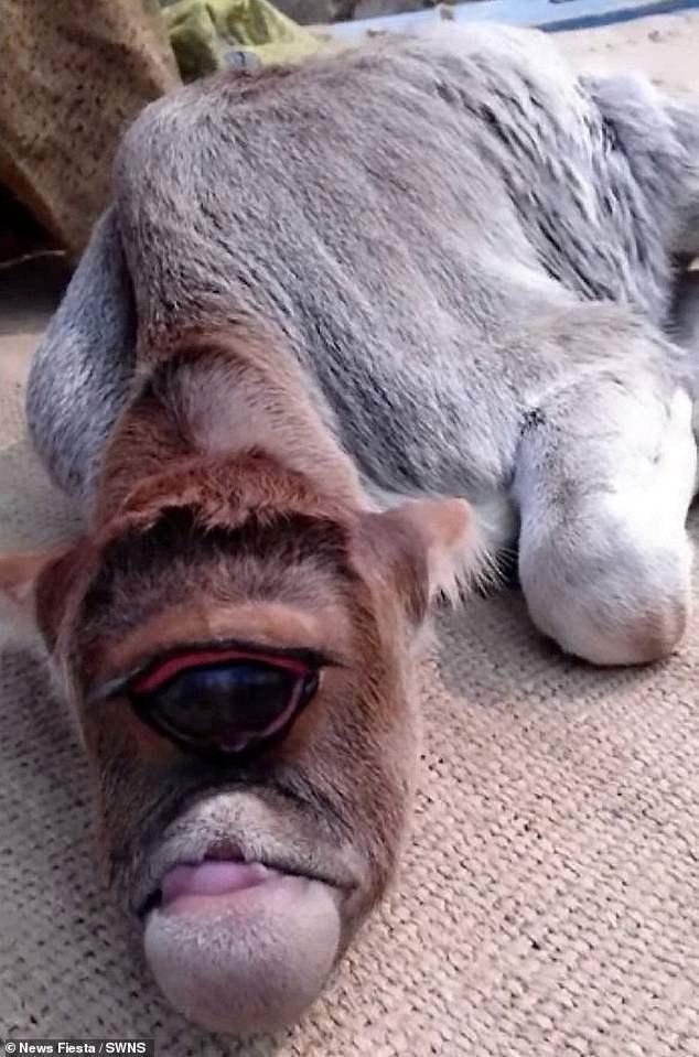 印度東部村落出生一隻「獨眼小牛」,村民認為是神蹟,將小牛當神靈供奉膜拜。 Dai...