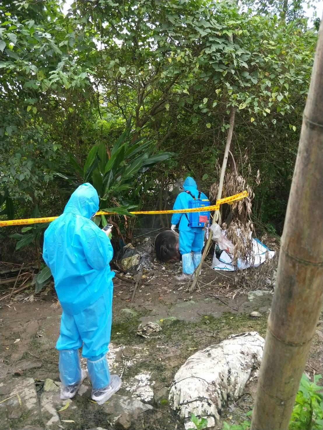 北市大安區昨發現麝香豬屍體。圖/動保處提供
