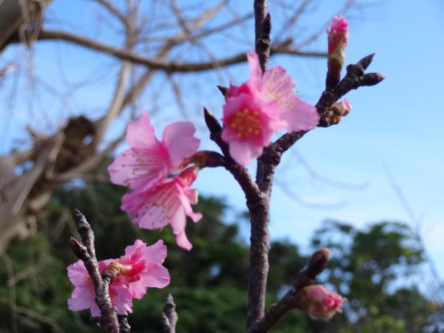 宮古島的寒緋櫻日前已經開花。圖/摘自Weathernews