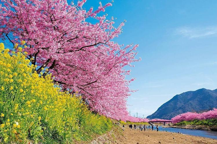 今年的靜岡河津櫻祭典從2月10日揭開序幕。圖/摘自河津町觀光協會