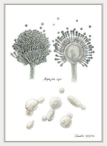 黑麴菌與溶脂念珠菌 圖╱摘自《菇的呼風喚雨史》