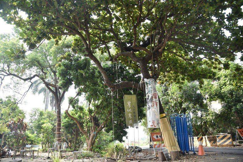 即將被移植或砍掉的大葉欖仁、龍眼、樟樹與大王椰子樹群。 圖/堀仔頭小森林守護團體提供