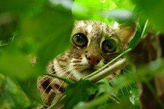 石虎不說再見(二):《環評法》外,石虎保育計畫的圖像在哪?
