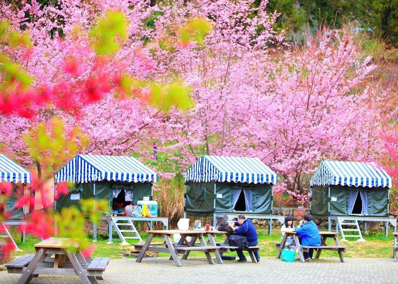 今年武陵農場櫻花季2月7日至2月27日登場。圖/公路總局提供