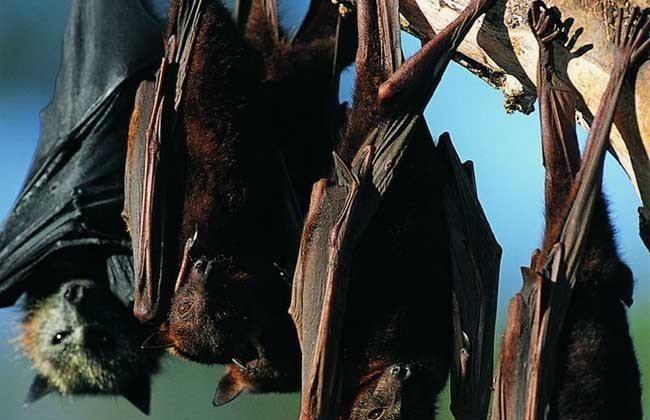 科學家在一隻中國大陸的蝙蝠肝臟內發現類伊波拉病毒,且確定能感染包含人類在內的多種...