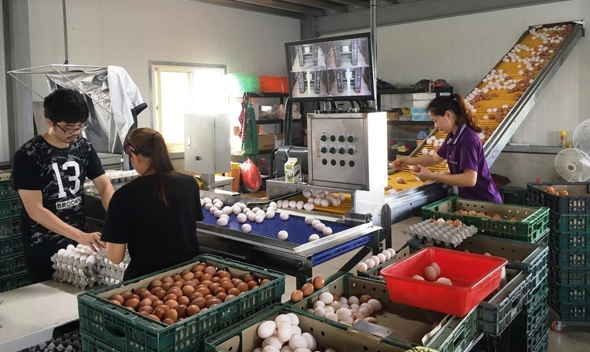 彰化縣雞蛋產量站全台47%,產量正常,因南部缺貨造成全台供不應求。照片/大城鄉農...