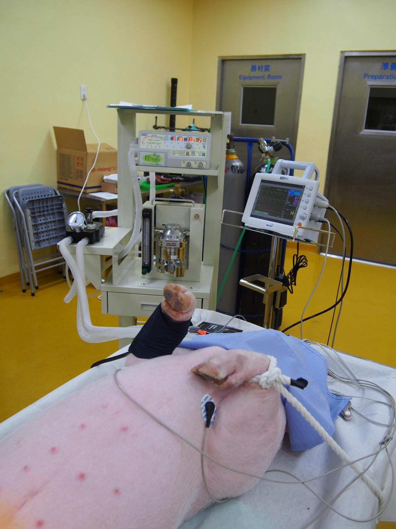 藍瑞斯豬正在接受生理監測。 圖/楊啟裕提供