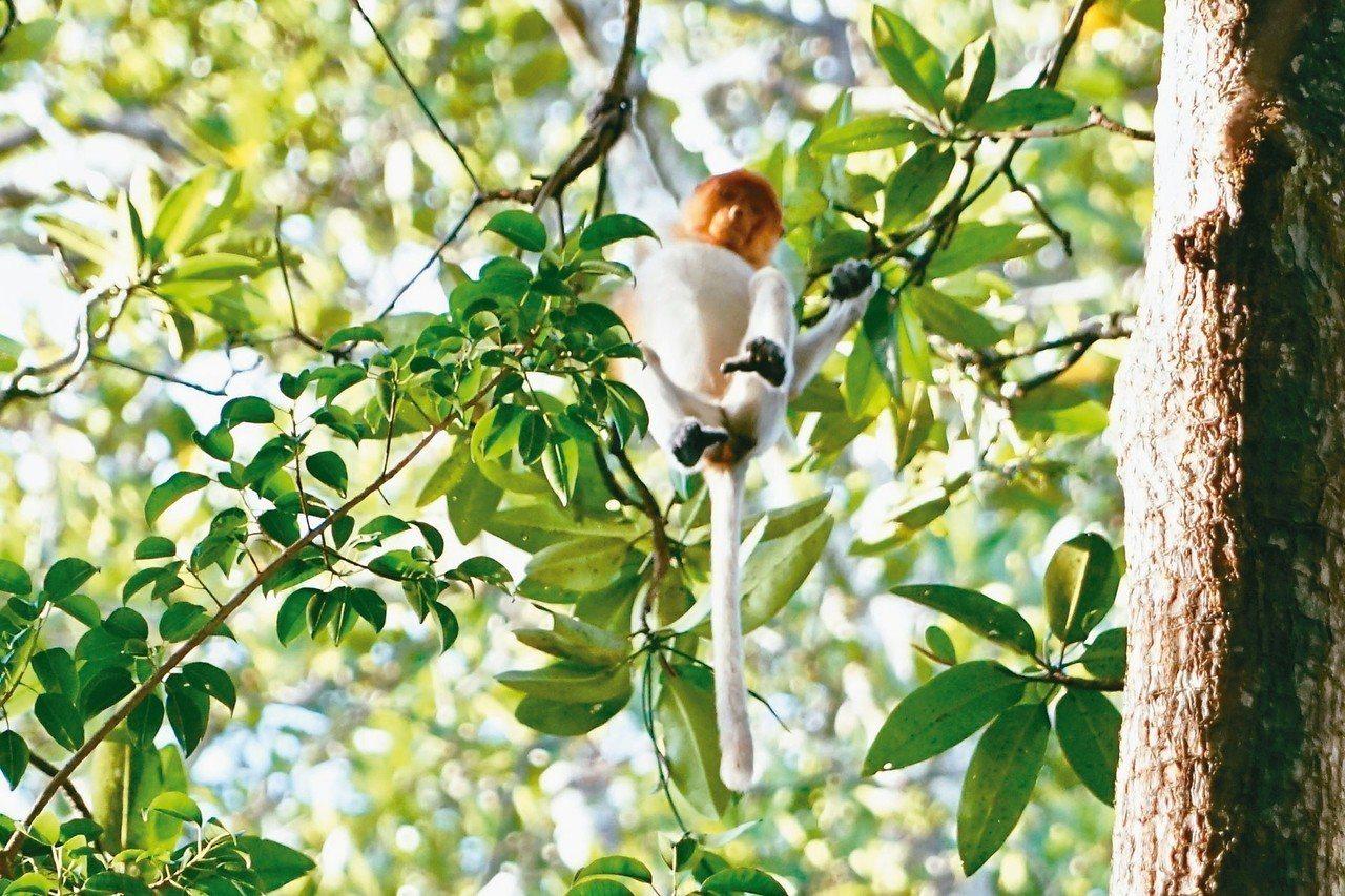 長鼻猴是婆羅洲特有物種,喜歡棲息在紅樹林,模樣討人歡心。 圖/游慧君、陳志光