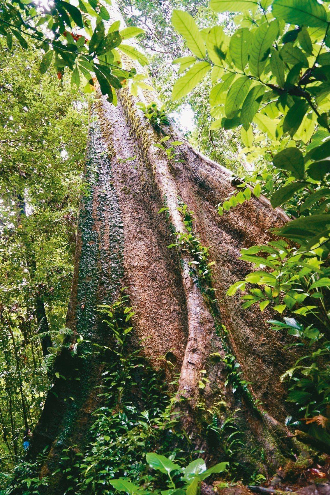 雨林樹幹筆直高大,為支撐這樣的身軀,樹的根部通常長著特殊的板根。 圖/游慧君、陳...