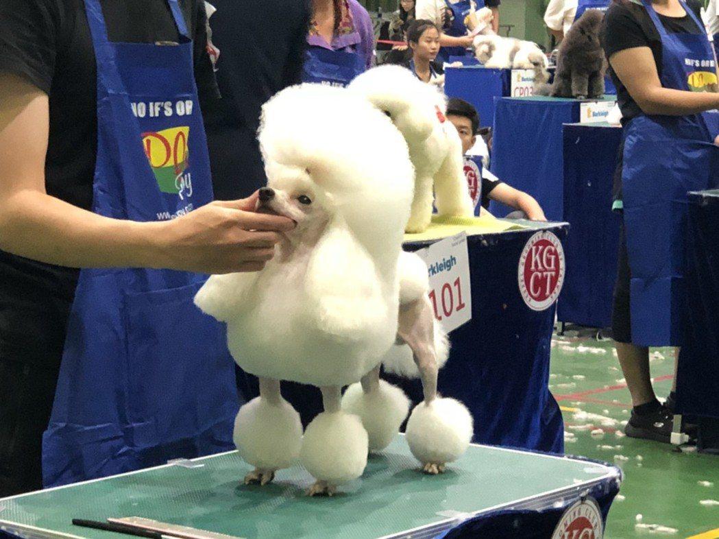 比賽選手展現專業,為寵物設計不同造型。 楊鎮州/攝影