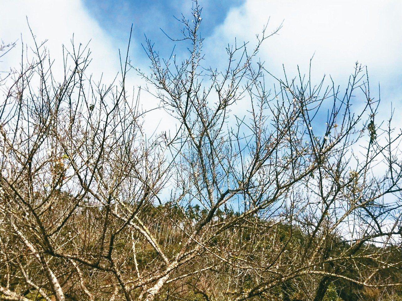 受暖冬影響,目前梅嶺的梅花僅開約兩成,預計本月中下旬才會綻放。 記者綦守鈺/攝影