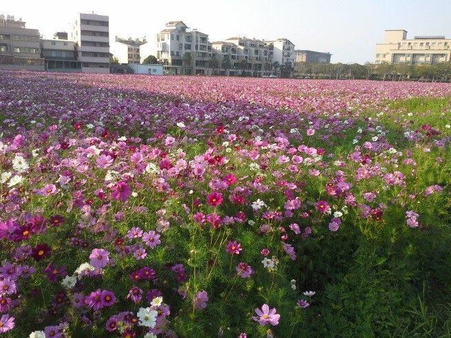 色彩鮮艷的花朵,為新春帶來喜氣。