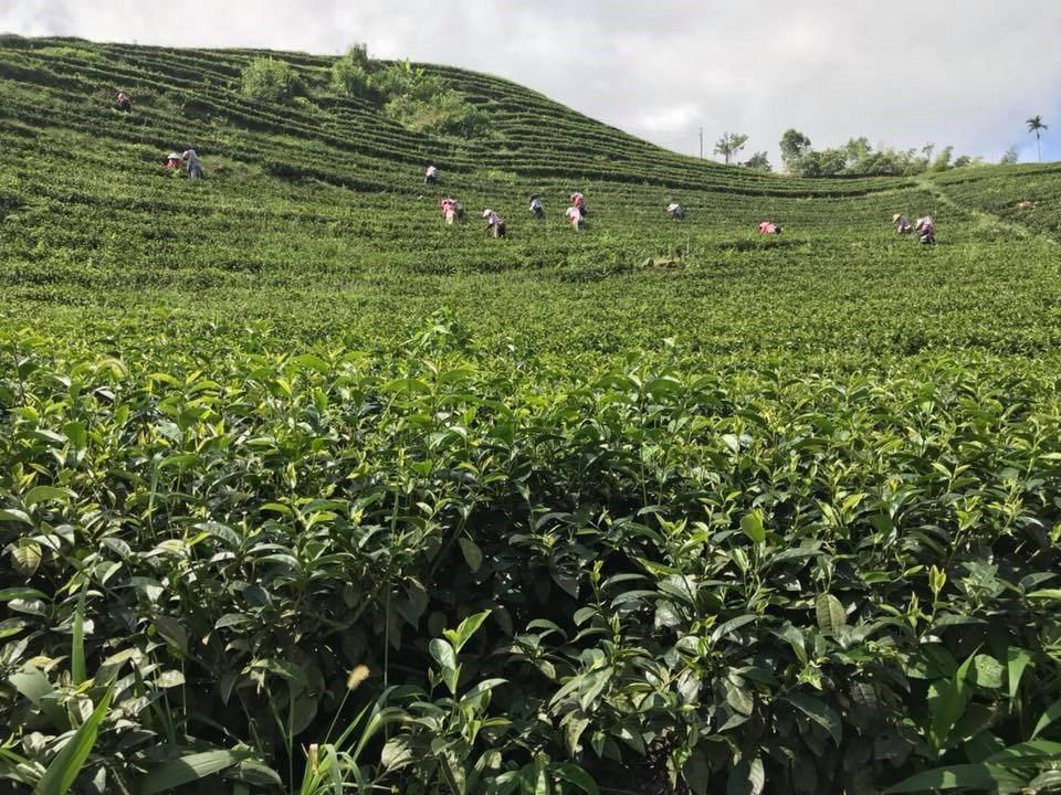 台灣茶品質好,銷往全世界。 台茗昊/提供