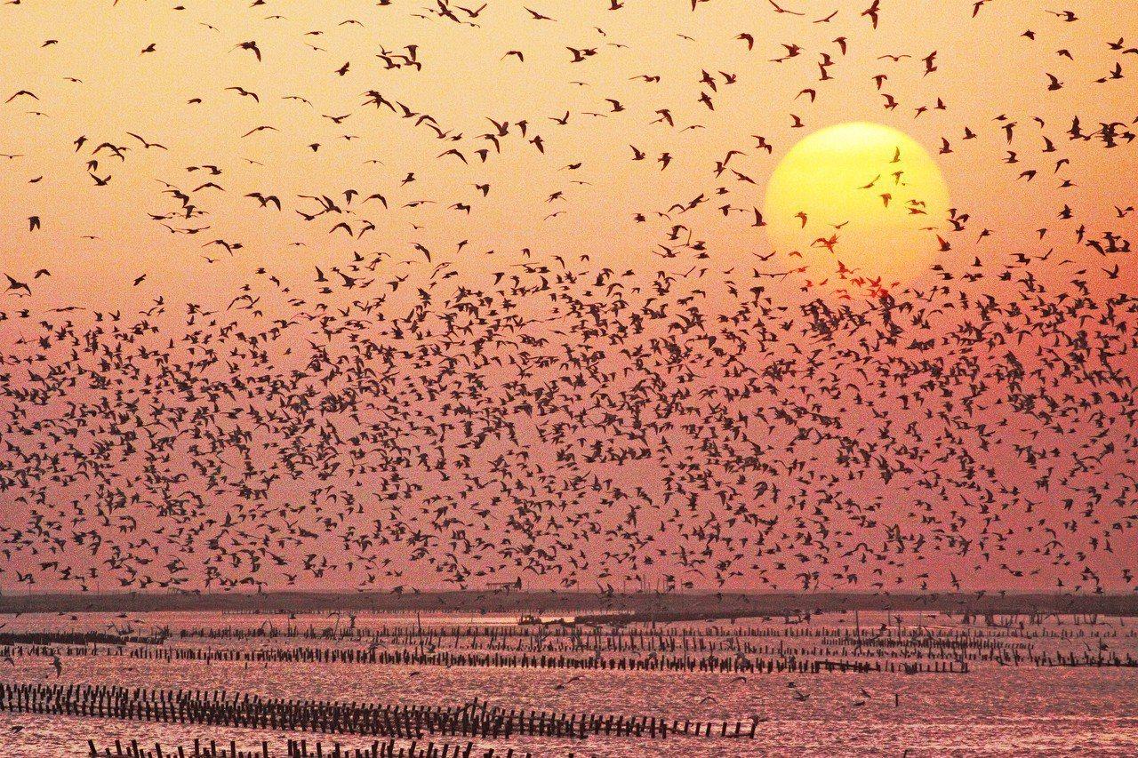 東石鄉鰲鼓濕地的群鳥飛舞十分壯觀。
