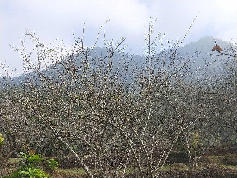 受暖冬影響,賞梅勝地楠西梅嶺目前梅嶺的梅花僅開約兩成,預計本月中、下旬才會綻放。...