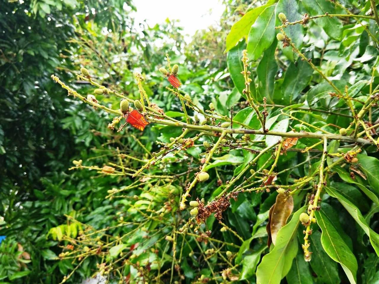 去年台灣中部爆發荔枝椿象的紅色蟲蟲大軍危機,讓果農心有餘悸。圖/報系資料照