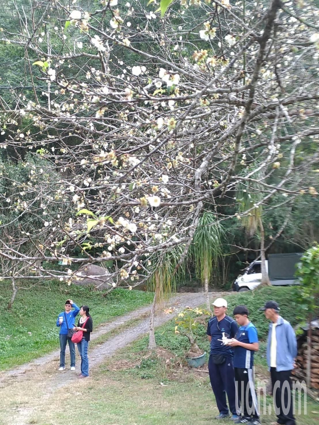 今年天氣熱,高海拔地區的梅樹開花率較高。記者徐白櫻/攝影