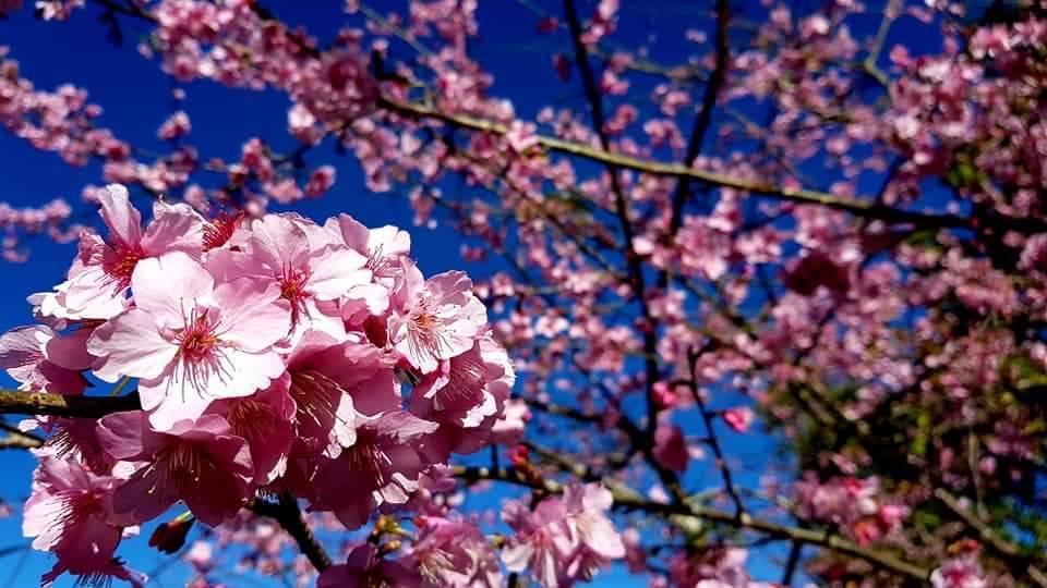 今年櫻花公園花況佳,警方呼籲遊客不可在藤枝林道亂停車。圖/六龜分局提供