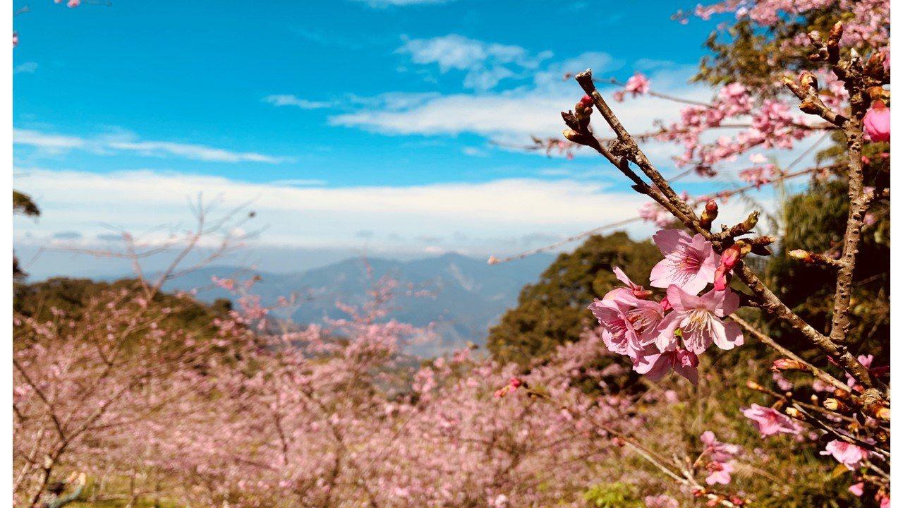 桃源寶山櫻花公園海拔千餘公尺,花開景致賞心悅目。圖/六龜分局提供