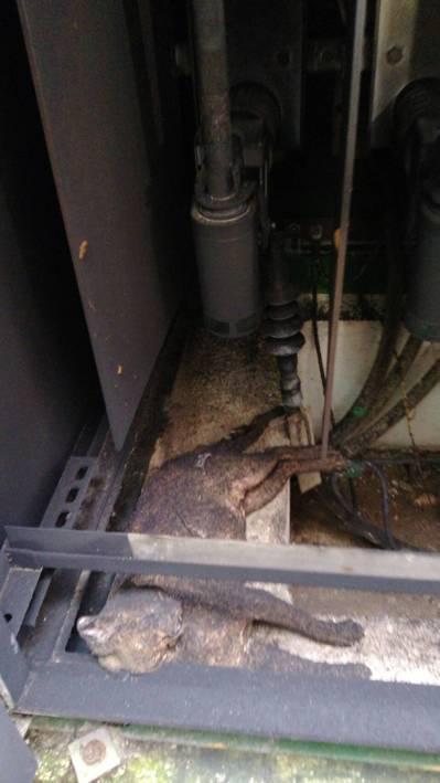 楊梅一社區停電,在變電箱發現疑似被電死的動物是否為石虎,有待動保處認定。圖/瑞坪...