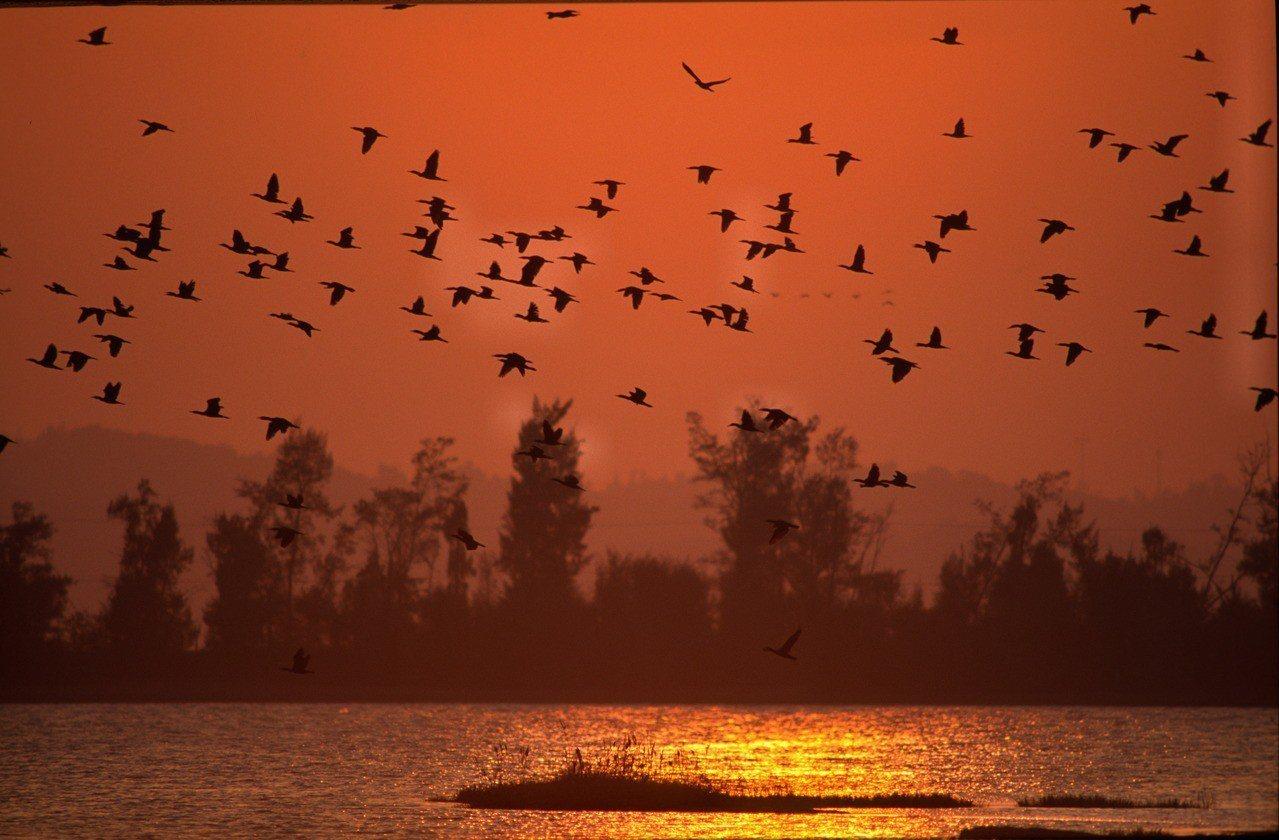 鸕鶿是金門最具特色的冬候鳥,每年冬天數千隻黑壓壓的黑色大軍造訪金門,吸引不少鳥友...
