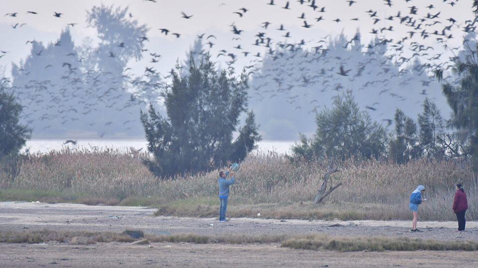鳥友發現近日有民眾在棲地敲打盆子驚擾鸕鶿,害牠們驚嚇紛飛而不敢回夜棲地,引起網路...
