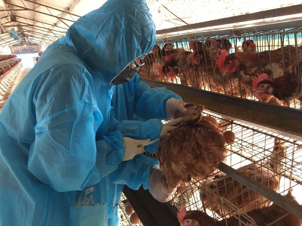 台南市動保處提醒飼養土雞業者,儘量縮短出雞時間,避免因出雞次數頻繁而增加染病風險...