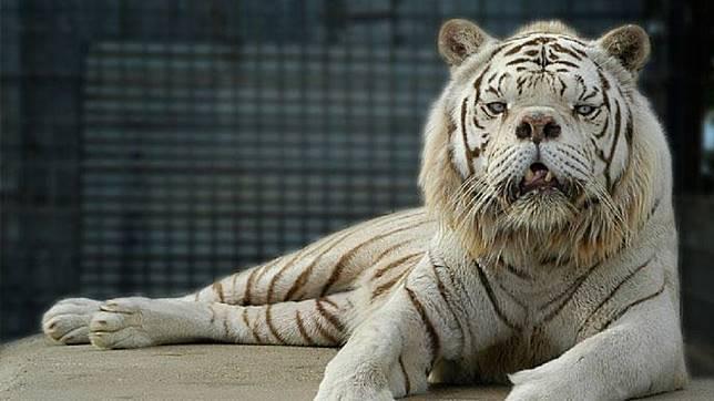 美國白老虎肯尼因為近親繁殖,使牠與正常老虎的模樣相差甚遠。圖/翻攝自太陽報