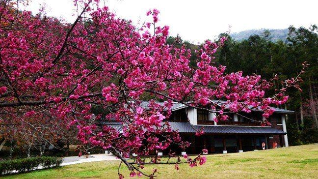 圖為奧萬大內日式屋舍被櫻花包圍景致,讓人猶如置身國外。圖/南投林管處提供