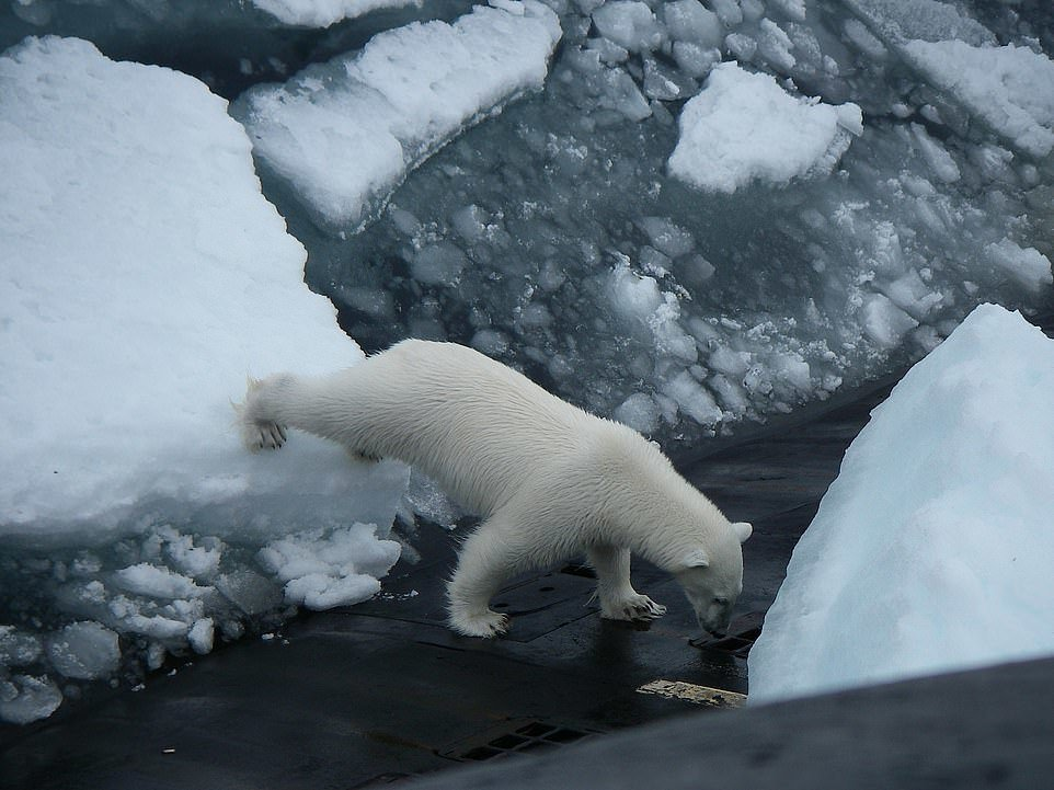 日前俄羅斯核潛艇巡航北極時,浮出海面傾倒垃圾,引來北極熊的注意,靠近潛艇四周嗅探...