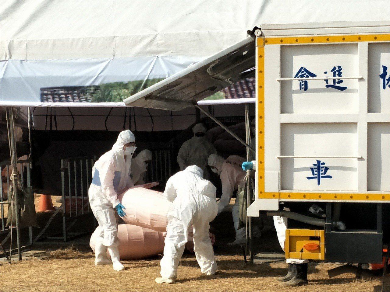 防疫人員模擬抬出豬屍處理。 記者謝進盛/攝影