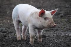 人臉辨識算什麼 中國豬臉辨識商業化