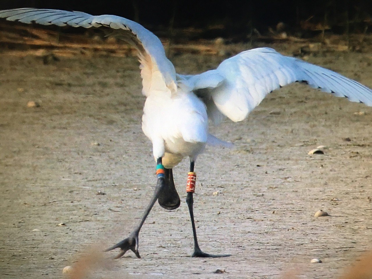 去年受傷時的黑琵「H74」左腳明顯腫脹,耗盡體力又難以覓食。圖/張順雄提供
