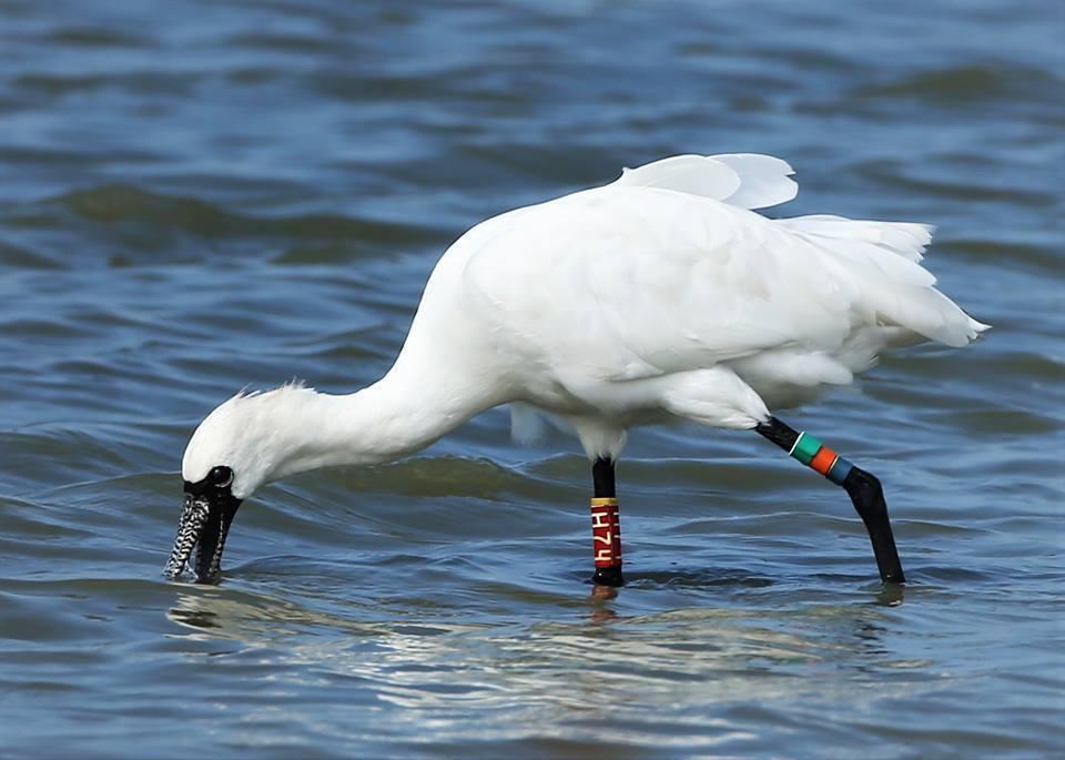 健康重返茄萣溼地的黑面琵鷺H74,在淺水處覓食。圖/邱明德提供
