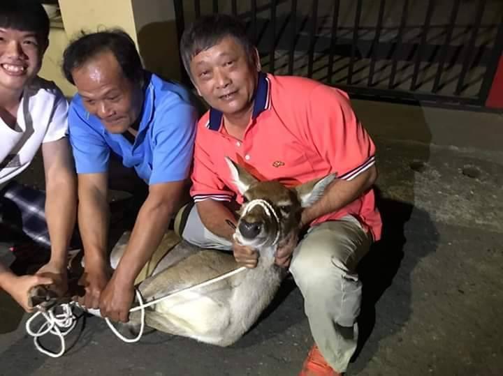 調皮逃家的鹿,在市區逛大街,最後被眾人圍捕五花大綁。圖/讀者提供