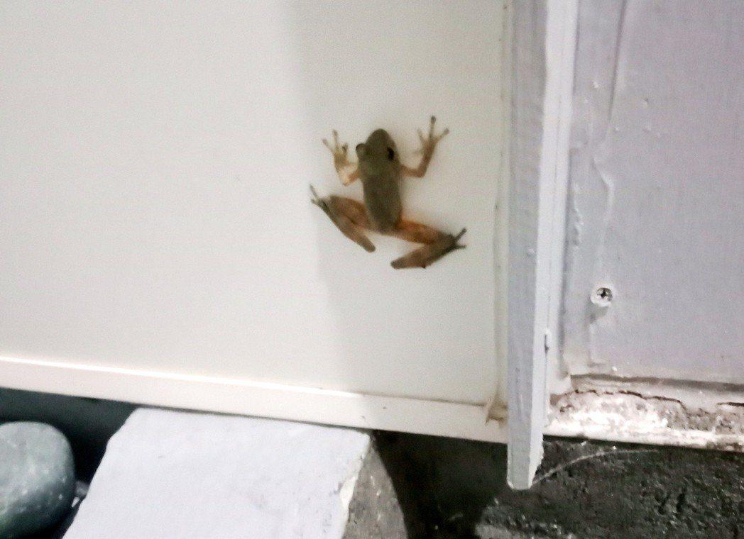 某天我窩出現蛙。圖/鄭雅嬬提供