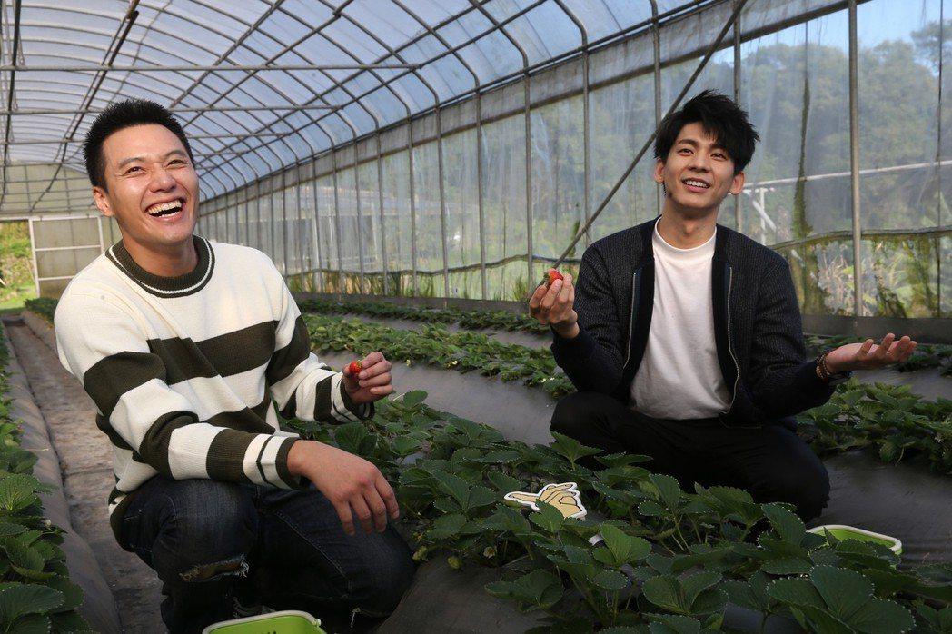林柏宏(右)、張睿家(左)同門師兄弟走春採草莓。記者徐兆玄/攝影