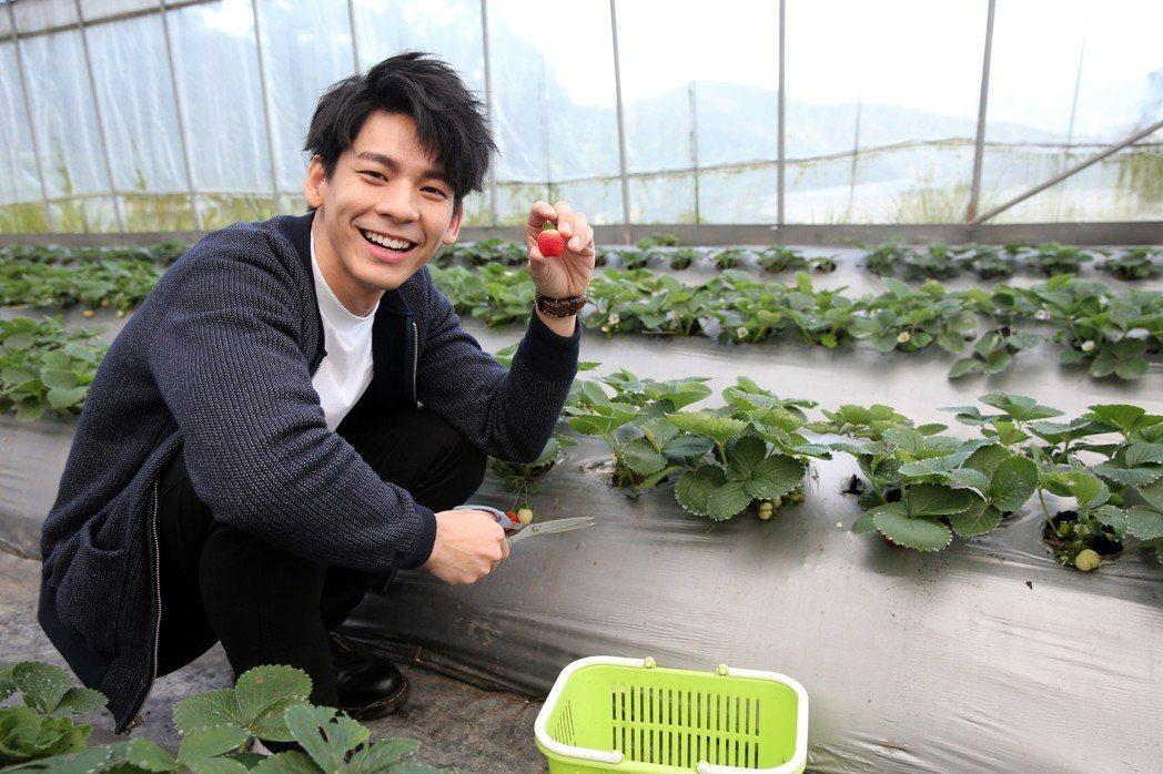 林柏宏走春採草莓。記者徐兆玄/攝影