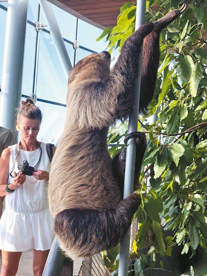 樹懶的動作緩慢得可愛。 記者許晉榮/攝影