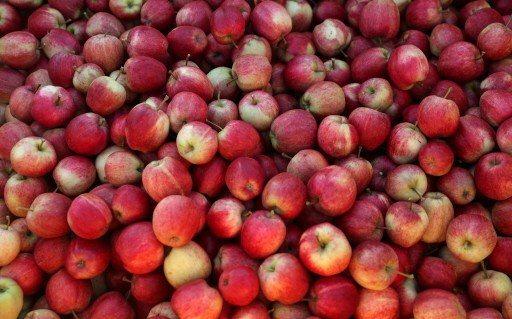 英格蘭的蘋果園進入了豐收祭。(路透)