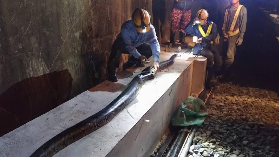 台鐵人員南迴線屏東枋山路段今天凌晨巡邏時,發現一條斷成3截的5公尺外來種網紋蟒。...